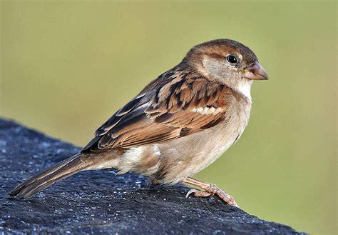 national geographics sparrow bird