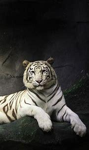 White tiger - Black background | Pet tiger, Tiger ...