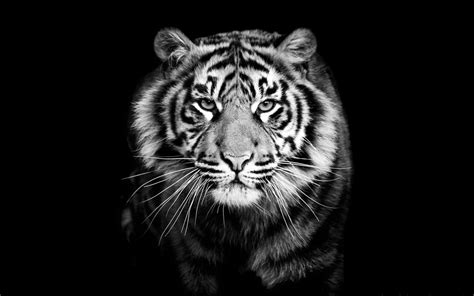 Black And White Animal Wallpaper - black and white tiger wallpaper 60 images