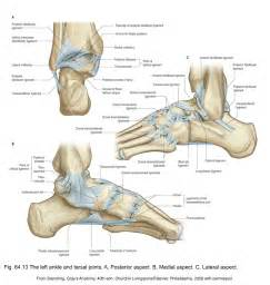 Subtalar Joint Ligaments