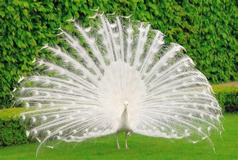 Peacock HD Wallpapers.