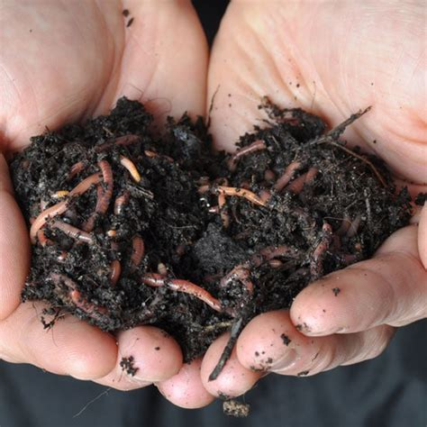 worms composting wiggler worm wigglers compost planet united states natural planetnatural feed guru