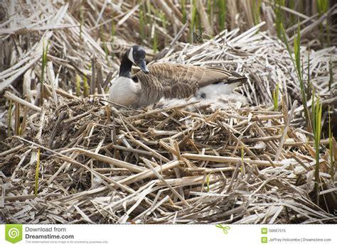 canada goose  nest  marsh early spring massachusetts