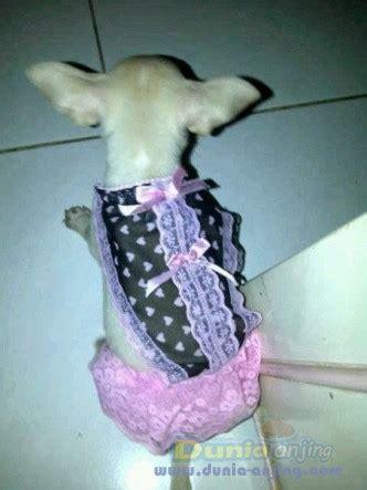 dunia anjing jual anjing chihuahua  sale  ekor