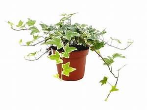 Efeu Als Zimmerpflanze : efeu wei gr n hedera helix 9cm topf 15 20cm beiers pflanzenshop ~ Indierocktalk.com Haus und Dekorationen