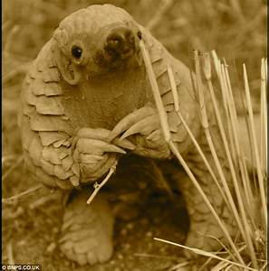 Pangolin photo bombs selfie by sticking out its humongous ...