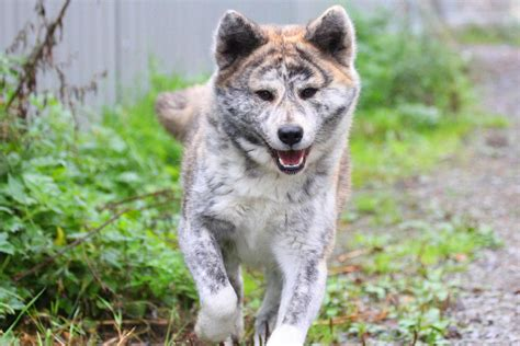 Akita Dog Breed » Information, Pictures, & More