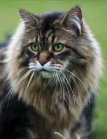 big maine coon cats for cool pets 4u maine coon cats