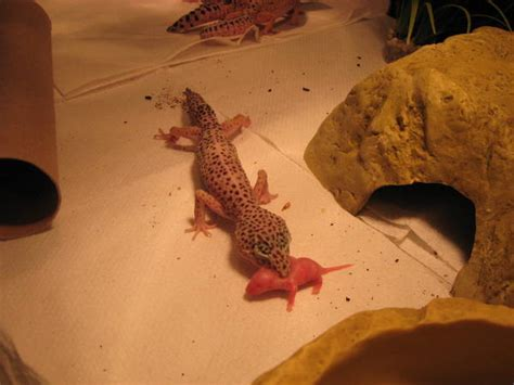 leopard gecko eating mouse
