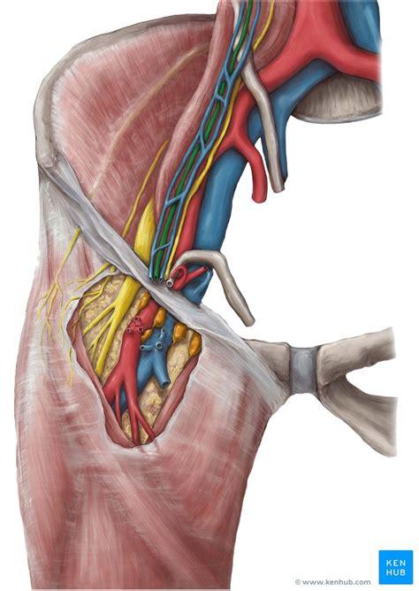 arteria testicularis hodenarterie anatomie und klinik
