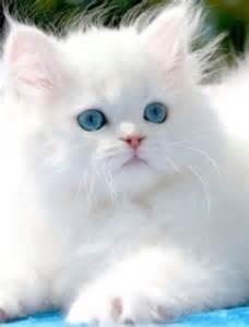 ragdoll cat price price range of ragdoll kitten many
