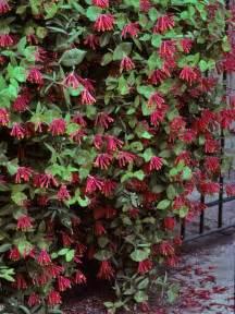 Coral Honeysuckle Vine Evergreen