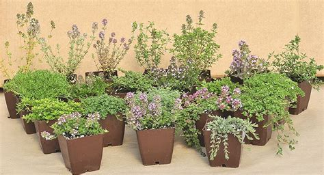 Thyme 28 Varieties Of Thyme Plants Ground Cover Thymes