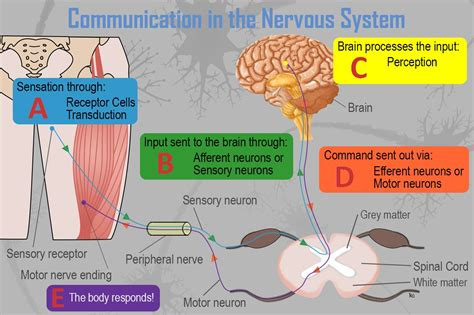 The autonomic nervous system is, in turn, divided into the sympathetic and parasympathetic nervous system. Module 10: Complementary Cognitive Processes - Sensation (and Perception) - Principles of ...