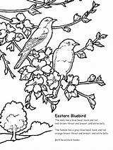 Coloring Bluebird Eastern Pages Printable Sheet Songbird Lovers Books sketch template