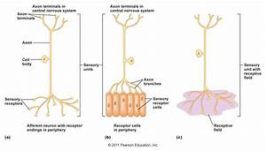 Sensory Neuron Labeled