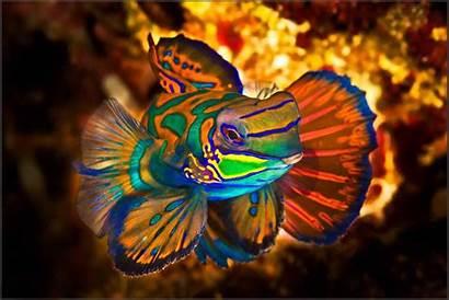 Mandarin Fish Aquarium Saltwater Marine Colorful Sea