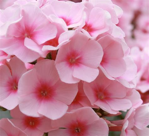 light pink flowers alexandrite light pink flower guide
