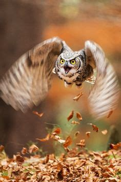 Do Barn Owls Eat Cats by 1000 Images About Owls On Guardians Of Ga