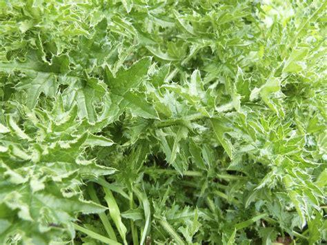 Pflanzen Bestimmen Im Garten by Unkraut Im Garten Unkraut Im Garten Bestimmen Unkraut Im