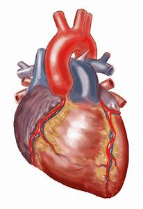 Real Heart Organ Related Keywords & Suggestions - Real ...