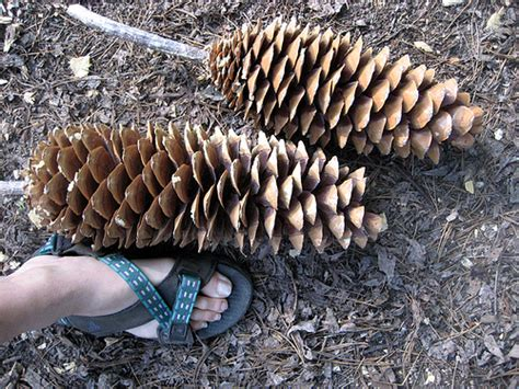 Giant Pine Cones   Flickr - Photo Sharing!