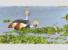 zuula Uganda Cranes Zuula Uganda