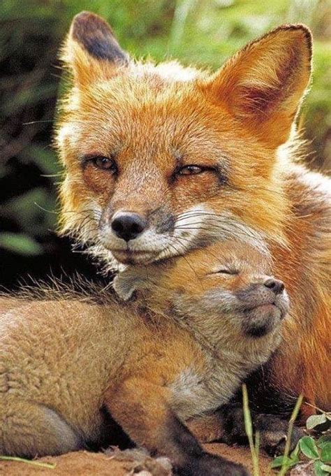baby foxes show  affection luvbat