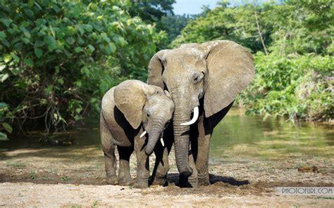 African Elephants Wallpapers