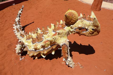 thorny devil wallpapers images  pictures backgrounds