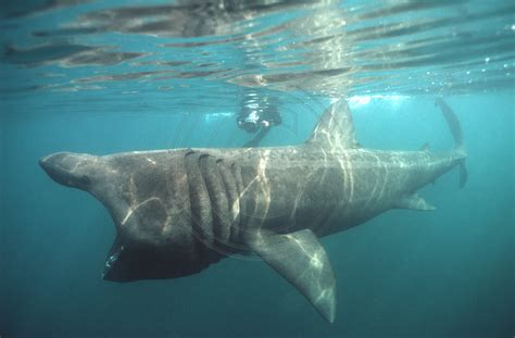 charles hood photography snorkel with basking sharks