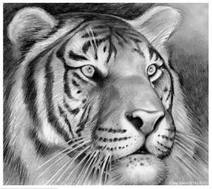 Tiger by gregchapin on deviantART
