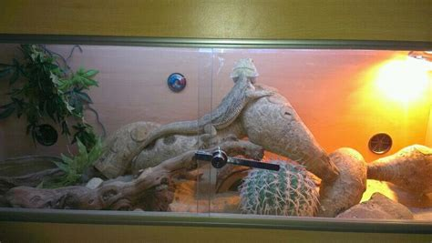midlands ft viv  setup  bearded dragon reptile