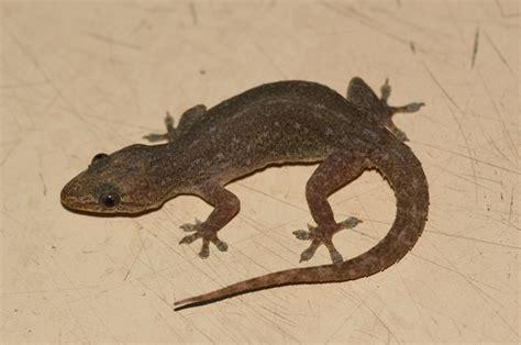 house gecko hemidactylus frenatus house gecko sighted florida animals i have caught or trapped