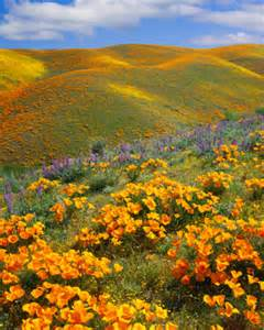 Antelope Valley California Poppy