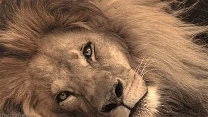 Lion Wild Cats Giphy Nature Animals Gifs