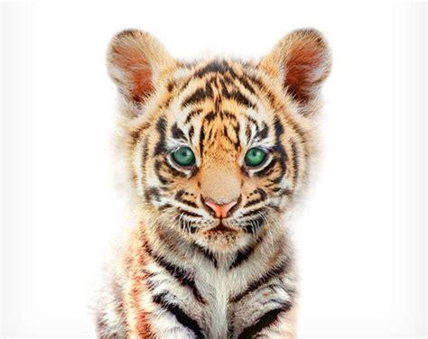 tiger print baby animal prints nursery wall decor