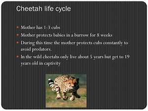 Cheetah Life Cycle Diagram