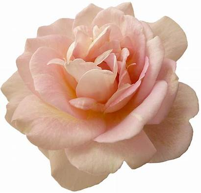 Blush Roses Thread Needle Bridal Pngkey