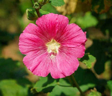 hibiscus entretien hibiscus conseils d entretien culture et arrosage