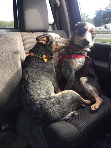 1000 images about acd blue heeler on pinterest