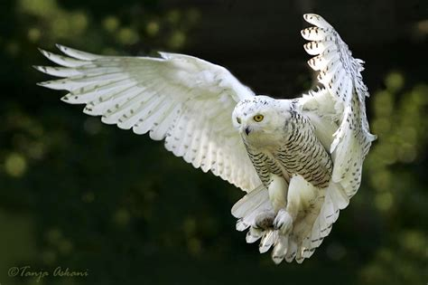 white wolf these 10 incredible photos of snowy owls in