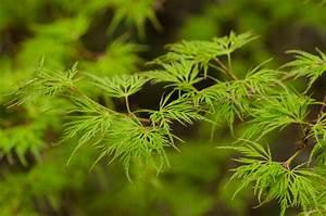 Wann Müssen Apfelbäume Geschnitten Werden : japanischer ahorn schneiden wann ist das sinnvoll ~ Lizthompson.info Haus und Dekorationen