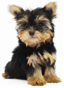 Cute Small Dog Breeds That Don't Shed