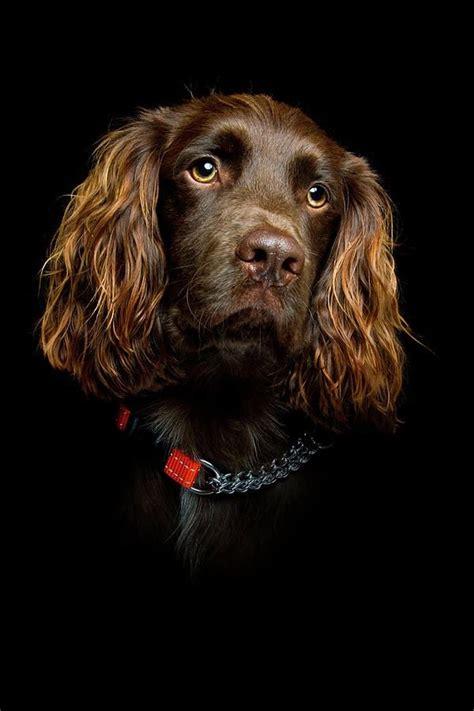 boykin spaniel shed 47 best boykin spaniels images on breeds