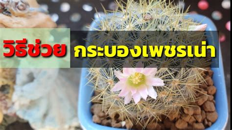 วิธีช่วยกระบองเพชรเน่า(แคคตัส/cactus) ให้รอดตายและออกดอก ...