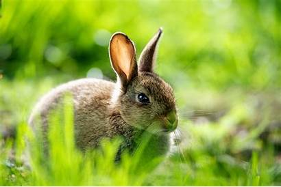 Rabbit Hare Wallpapers Desktop Animal Bunny Rabbits