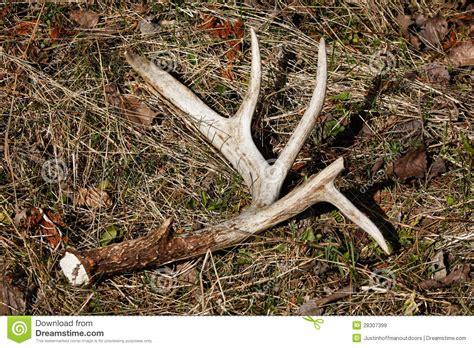 deer sheds for whitetail deer antler shed on ground stock image image
