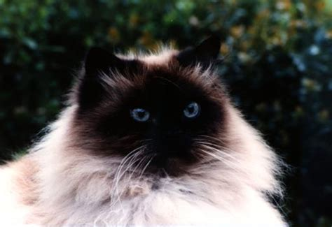 cat breeds   time owners pets world