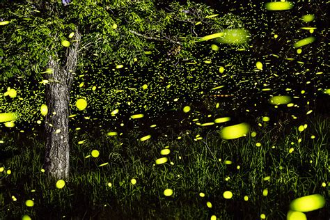magical long exposure firefly pictures  vincent brady demilked